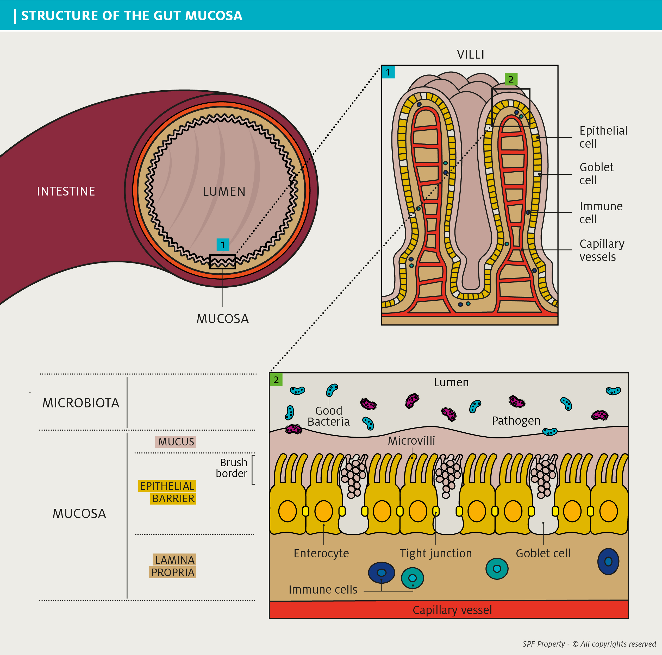 cats and dogs intestinal mucosa