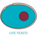 Live yeasts can reinforce the barrier function of the intestinal tract